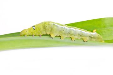 Caterpillar Oleander Hawk-moth (Daphnis nerii) Isolated on White