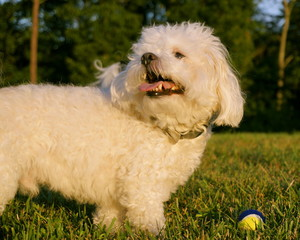A small white dog looks back over his shoulder while playing a game of fetch.