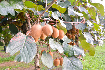 Kiwi Fruit Plantaion Tree