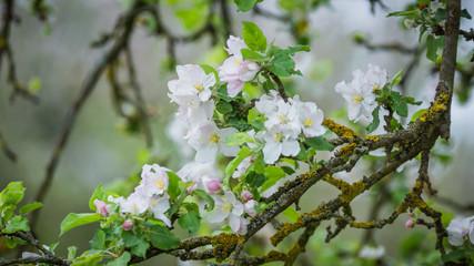 Blühende Kirsche Baum im Frühling