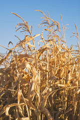 Dried corn field against blue sky