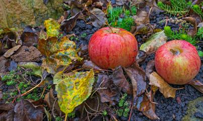 Apples fallen from an apple tree in autumn