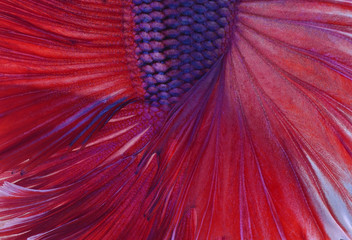 Close-up on a fish skin - colorful Siamese fighting fish - Betta Splendens