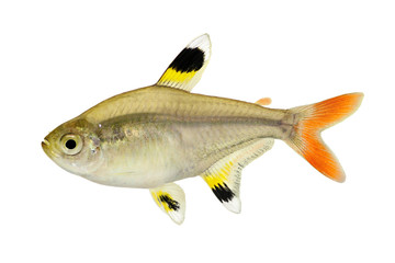 Golden pristella tetra Pristella maxillaris X-ray tetra fish isolated on white