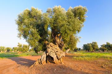 Ulivo Puglia Salento