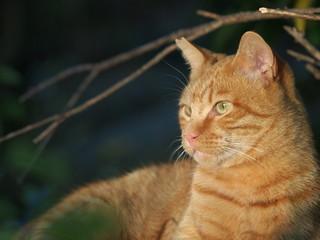 茶トラ猫の横顔