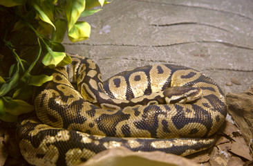 Змея королевский питон