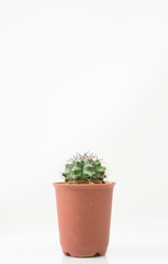 The Cactus on white background