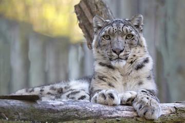 resting snow leopard, Uncia uncia, portrait.