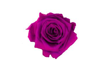 purple rose isolated on white background. Dark pink rose