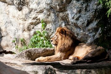 lion lies down