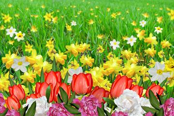 Summer landscape. flowers daffodils. tulips