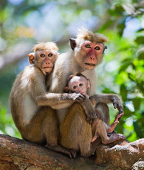 Family of monkeys sitting in a tree. Funny picture. Sri Lanka. An excellent illustration