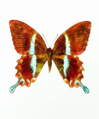 illustration of a color butterfly, mixed medium, white background