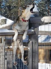 Bellender Husky am Drahtzaun wartet ungeduldig auf Schlittentour