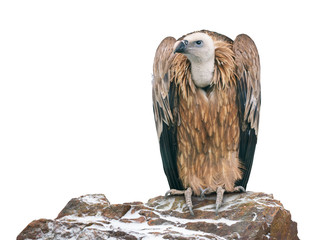 Griffon vulture perched on a stone. Isolated