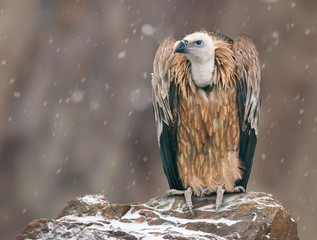 Griffon vulture percheed on a stone in winter