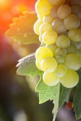 Lush White Grape Bushels Vineyard in The Afternoon Sun