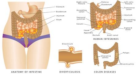 Anatomy of the human intestines