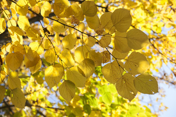 Branch with yellow leaves against the sunlight