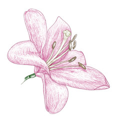 flowers lily, painting sketch