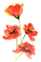 Red poppy flowers, watercolor illustrator