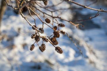 Adler tree cone in winter close up