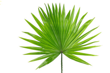 Palm  leaf (Livistona Rotundifolia palm), isolated on white