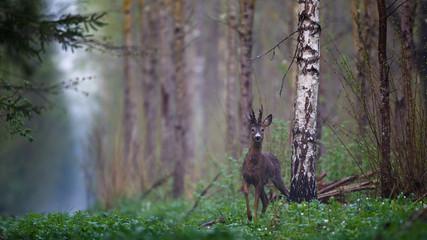 Male roe deer in forest
