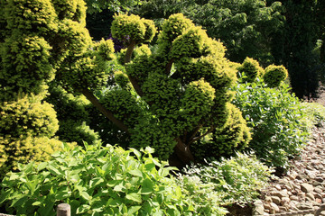 Shorn, evergreen plant in the company of a hosta