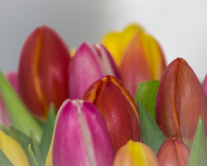 Heads of colored tulips closeup on a light blurred background