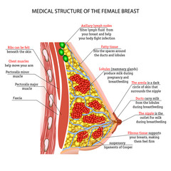 anatomy of the female breast Implants