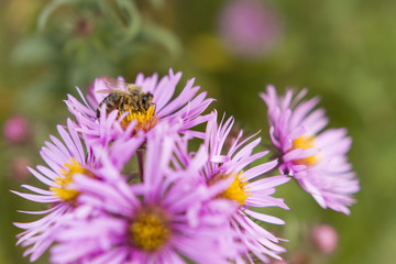 bee feeding on flowers asters
