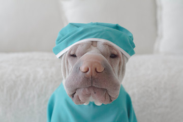 Portrait of a shar pei dog dressed in medical scrubs