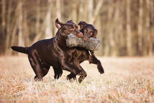 two brown dogs playing with a toy together