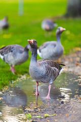 Goose. Wild goose