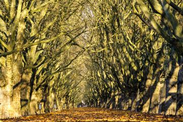 Jesienna aleja platanów