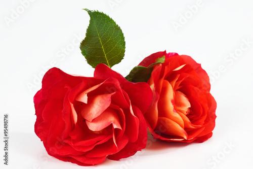 rote rosen weisser hintergrund. Black Bedroom Furniture Sets. Home Design Ideas