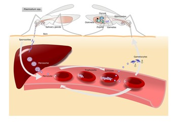 ciclo della malaria