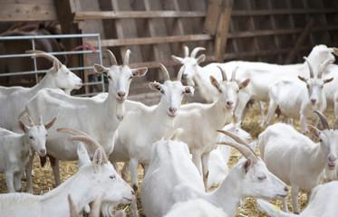 viele weiße Ziegen