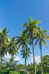 Beuatiful palms from Rangiroa atoll, French Polynesia