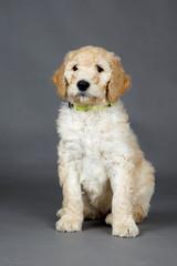 Cute goldendoodle pup