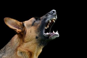 Angry dog on dark background