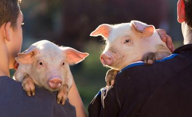 Piglets on farmers shoulders