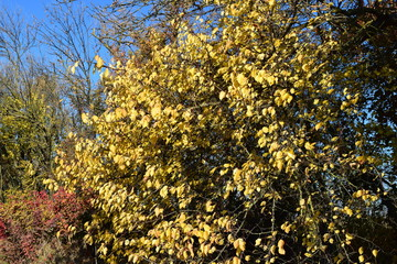 Wild apricot with the turned yellow leaves