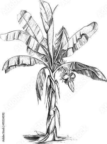 Vintage Drawing Banana Palm Tree Stock Photo And Royalty Free