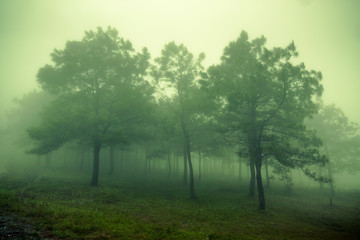 Pine Forest in the mountains in the clouds with fog