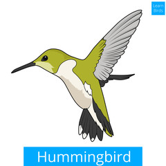 Hummingbird learn birds educational game vector