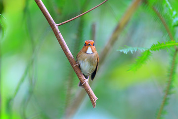 Rufous-browed Flycatcher (Anthipes solitaris) in Malaysia