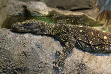 Рептилия крупный варан